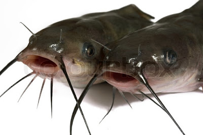 3409182-channel-catfish-isolated-on-a-white-background-traditionally-american-kind-of-a-fish
